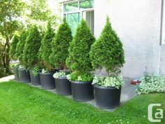 11 Best Trees For Privacy Screen Images Backyard Potted Trees