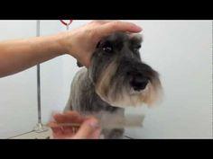 How to groom a Miniature Schnauzers head