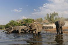 Elephant (Loxodonta africana) at Chobe River, Chobe National Park, near Kasane, Botswana Chobe National Park, National Parks, Photography Tours, Nature Photography, Namibia, Tennessee, Wildlife, Workshop, Elephant