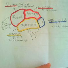 LOL - my silly way to remember the structures & lobes of the brain. Enjoy  #physiology