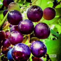"""Vineyard"" The story behind this picture: https://www.facebook.com/photo.php?fbid=515626645182566&set=a.507932875951943.1073741838.481203088624922&type=1&theater    #photography #photography #fotografie #foto #print #landschap #herfst #natuur #decoratie #wijngaard #druiven #grapes #grape #wine #blue #farm #fall #autumn  #wijn #proeverij #boerderij #wijnrank #druiventros #biologisch #decoration #interieur #sfeer #perspex #poster #artprint #greetingcard #gift #kado #laaurelia #aurelia #iphone"