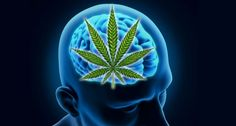 Rather than impairing cognition, studies are showing that the cannabinoids in cannabis can actually reverse the aging process and improve mental processes…