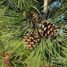 Pinus sylvestris - mänty
