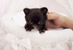 Amazing Adorable Micro CoCo Bear ~ Micro Teacup Chihuahua Extreme Tiny Baby Available! #chihuahuadaily #teacupdogs #teacupchihuahua