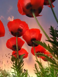 by John Poon Flanders Poppy. At the 11 th hour of the 11 day of the 11th month with the setting of the sun we will remember the.