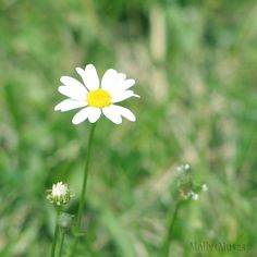Daisy Flower Photograph Flower Art Nature by MollysMuses on Etsy, $25.00