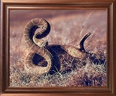 Wild Rattlesnake Desert Animal Wall Decor Mahogany Framed... https://www.amazon.com/dp/B01JUNSEX2/ref=cm_sw_r_pi_dp_x_BYtsybM5DAXEC