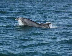 Sabia que há golfinhos em Portugal?