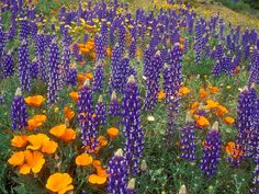 Lupines & Poppies, my favorites!