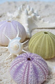 Starburst Shell With Urchins