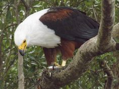 African Fish Eagle taken aboard the Shoreline Hippo and croc safari St Lucia South Africa