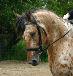 Friesian x Appaloosa stallion Grand Design