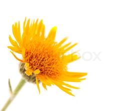 Image of 'meadow yellow flower on a white background'