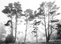 Don Kirby  2011083 Trees in Fog, Salt Point, CA