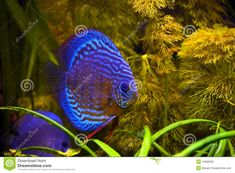 red turquoise discus fish - Google Search