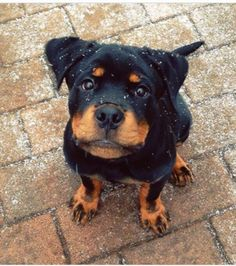 beautiful rottweiler puppy