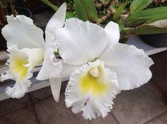 Orquidea Catleya de minha coleção.