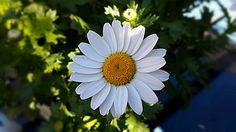 Flor, Planta, Margarida, Natureza