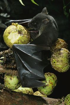 A Native Species, the Musky Fruit Bat Feeds on Figs. Animals And Pets, Baby Animals, Cute Animals, Beautiful Creatures, Animals Beautiful, Majestic Animals, Bat Species, Bat Flying, Baby Bats
