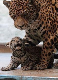 Family leopard