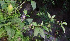 Morella comune - Solanum nigrum (Solanaceae) World, Colombia