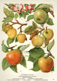 Vintage Botanical Print Antique APPLES 49 by VintageInclination, $12.98