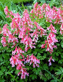 Beth Evans Corydalis - Spectacular hot pink tubular flowers cover attractive blue-green foliage for weeks in spring. Prefers part shade. Increases each year in size. Excellent for borders and rock gardens. A beautiful companion for late-blooming daffodils and Grape Hyacinths. Hardy to -20 F.  Perennial in Zones 5 - 8.