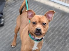 ROCKY - A1068120 - - Brooklyn Please Share: TO BE DESTROYED 03/31/16**NEW HOPE ONLY** Rocky has such a perfectly round face; it makes him so distinctive you'll never have trouble picking him out of a crowd. – Not to mention those unusual teeth. Rocky is a very young Miniature Pinscher and he's not too big at only 26-pounds. Now poor Rocky is said to be a very social boy when he's at home, but the shelter has him stressed to high heaven. He's so tense that h