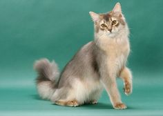 Somali, a cat breed you've probably never heard of