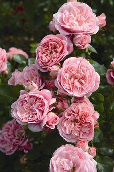 Een sierlijke robuuste perkroos met eenopvallende rozenziekten resistentie.Middelgrote pomponachtige dichtgevuldebloemen met een warme zalm roze kleurdie in grote trossen op de stelen staan.De groei is dicht bossig met gezondglanzend blad.  €7,70