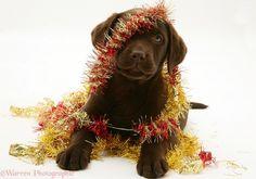 christmas labrador pictures - Google Search