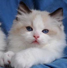 Blue-Gem Ragdoll photo Gallery - Photos of Ragdoll Cats and kittens