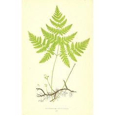 Check out this item at One Kings Lane! Polypodium Dryopteris Fern