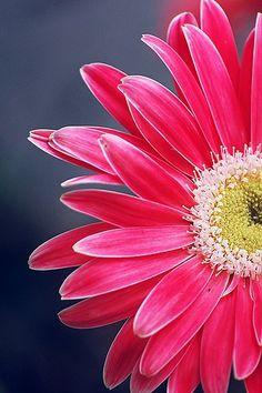 Gerbera | partial pink