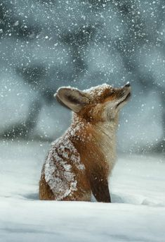 Natural beauty :) #snow #fox