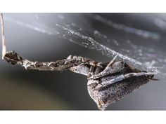 Spider spins electrically charged silk In their quest to make ultrastrong yet ultrasmall fibers, the polymer industry may soon take a lesson from Uloborus spiders. Uloborids (pictured) are cribellate spiders, meaning that instead of spinning wet, sticky webs to catch their prey, they produce a fluffy, charged, wool-like silk.