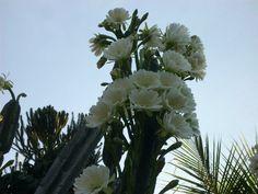 Kaktusblommor i Brasilien!!!