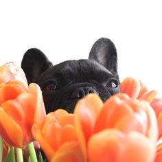 Batpig & Me Tumble It • spring! by choochoocharlies http://ift.tt/1IWPNLt