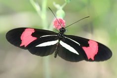 Borboleta (Heliconius erato phyllis). Photo by Flávio Cruvinel Brandão. Seen on flickr.
