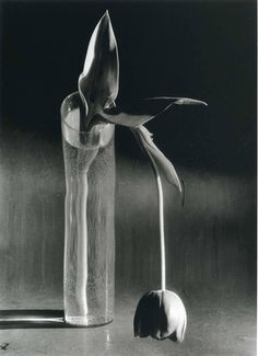 """yama-bato:  """"From : Masterpieces of Flower Photography  André Kertész - Melancholic Tulip, 1938  Flora Photographica Masterpieces of Flower Photography From 1835 to the Present William A. Ewing via  """""""
