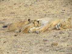 Mother's Care - Lioness and its Cubs at Gir National Park, Sasan Gir, Gujarat, India. Sasan Gir is the only abode of Asiatic Lions in the World