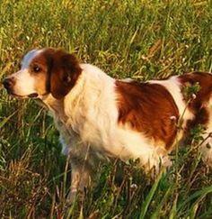Chiot Épagneul breton de l'élevage : LES JOYAUX DE LA BECASSE