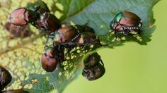 Learn how to stop japanese beetles from destroying plants, bushes and trees. Simple methods to help keep beetles from damaging your landscape. Mosquito Control, Pest Control, Bug Control, Organic Gardening, Gardening Tips, Geranium Care, Japanese Beetles, Japanese Plants, Beneficial Insects