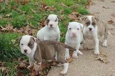 Bottle Pups in need of forever homes!  pitbull love