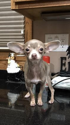 Effective Potty Training Chihuahua Consistency Is Key Ideas. Brilliant Potty Training Chihuahua Consistency Is Key Ideas. Chihuahua Breeds, Chihuahua Puppies, Cute Puppies, Dog Breeds, Cute Dogs, Dogs And Puppies, Chihuahuas, Doggies, Akita