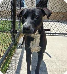 Tucker - URGENT - Alvin Animal Adoption Center in Alvin, Texas - ADOPT OR FOSTER - Adult Male Labrador Retriever/American Pit Bull Terrier Mix
