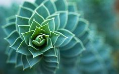 Succulent Plant widescreen wallpaper   Wide-