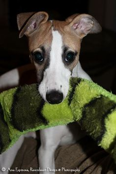 who could resist a Whippet pup's face_Jade_Ana Espinosa