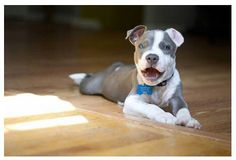 Uplifting So You Want A American Pit Bull Terrier Ideas. Fabulous So You Want A American Pit Bull Terrier Ideas. I Love Dogs, Puppy Love, Pit Bull Love, American Pit, Bull Terrier Dog, Dogs And Puppies, Doggies, Dogs 101, Beautiful Dogs