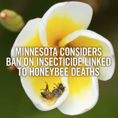 """Minnesota loves the bees! Learn more about how """"Minnesota regulators, for the first time, are considering banning or restricting a controversial class of insecticides that has been linked to honeybee deaths."""" http://www.startribune.com/local/280703022.html #SavetheBees #Pollinators #Bees"""